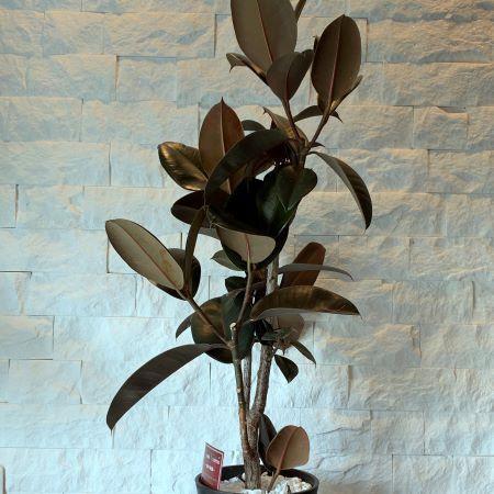 インドゴムの木